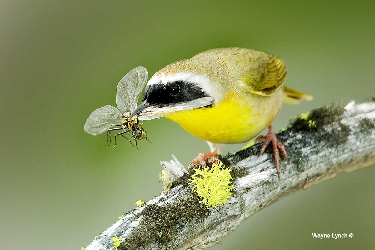Common Yellowthroat eating a Dragonfly by Dr. Wayne Lynch ©