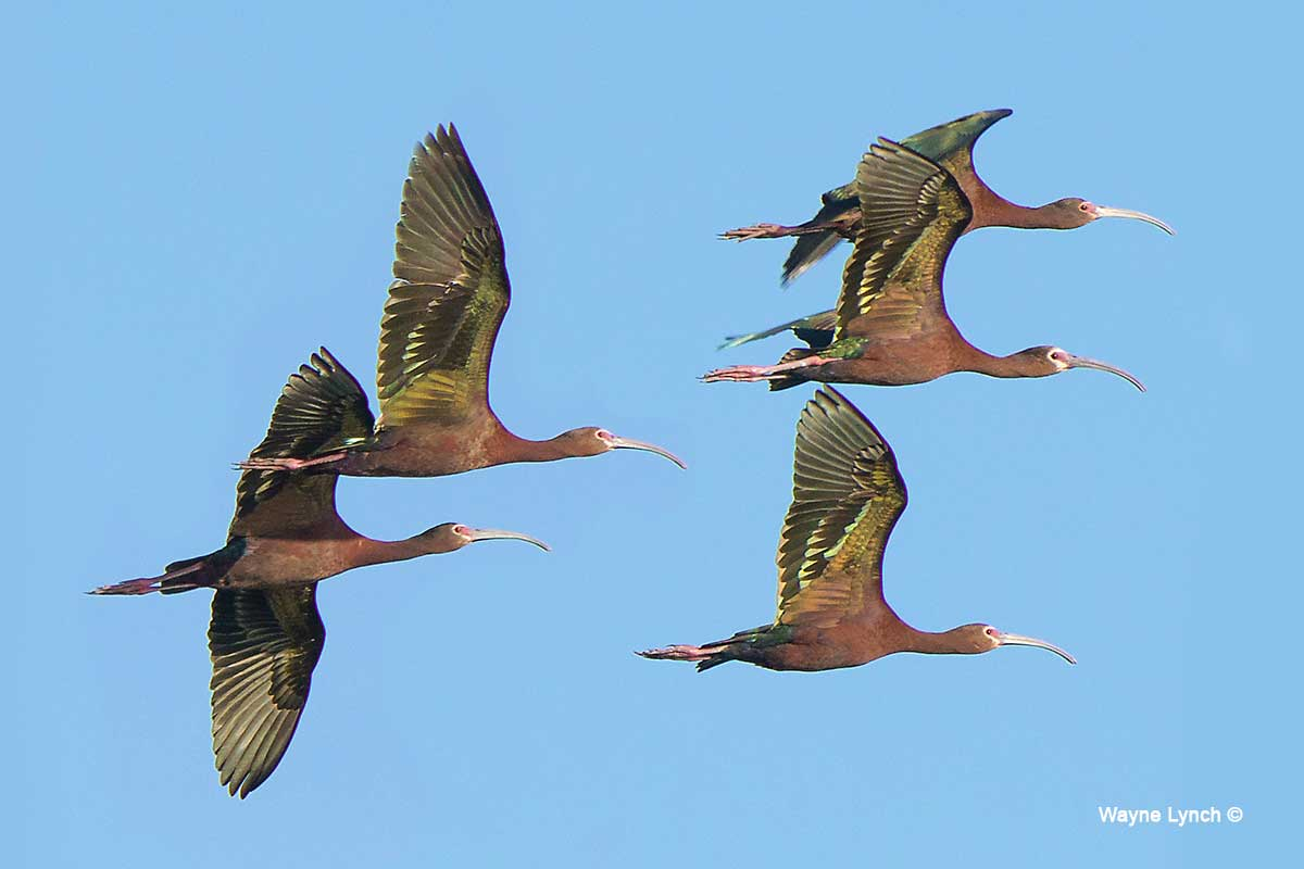 White-faced Ibises by Dr. Wayne Lynch ©