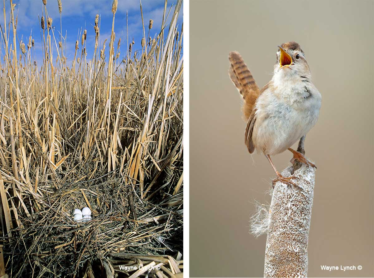 Northern Harrier Newst and Marsh Wren by Dr. Wayne Lynch ©