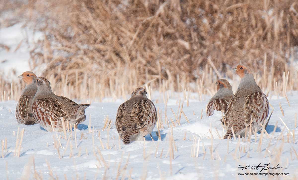 Hungarian Partridges in winter by Robert Berdan ©
