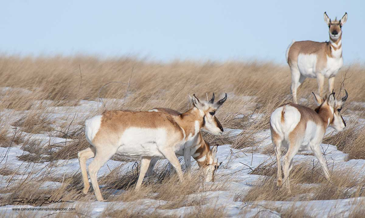 Pronghorn Antelope in winter by Robert Berdan ©