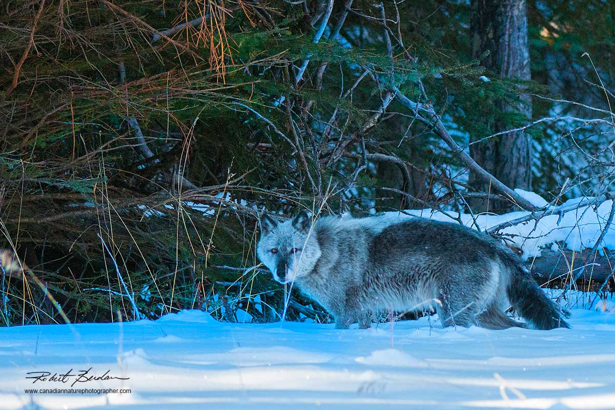 Wild Wolf Bow Valley Parkway, Banff National Park, AB by Robert Berdan ©