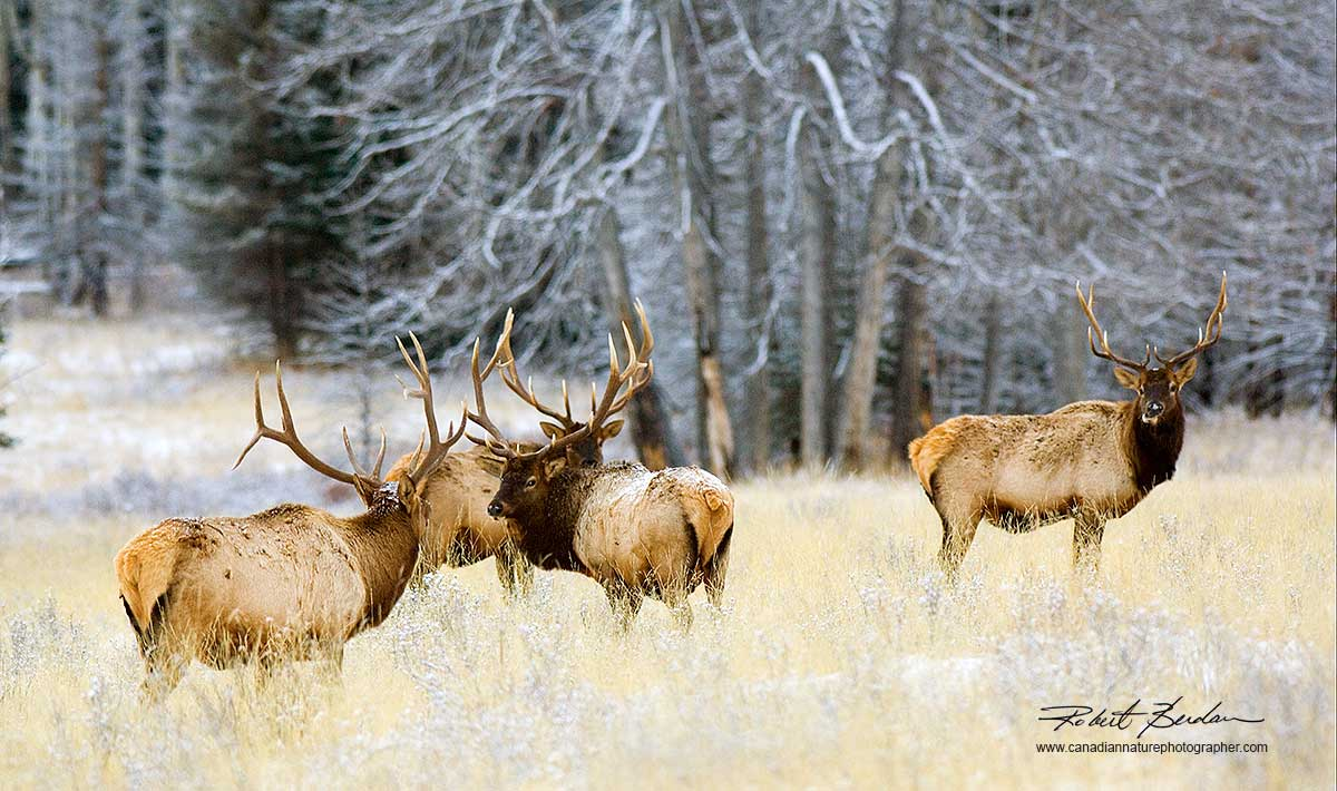 Elk in Banff National Park by Robert Berdan ©