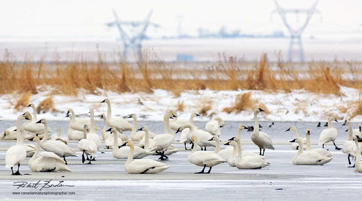 undra swans gather on the ice near Frank Lake, AB in March by Robert Berdan ©