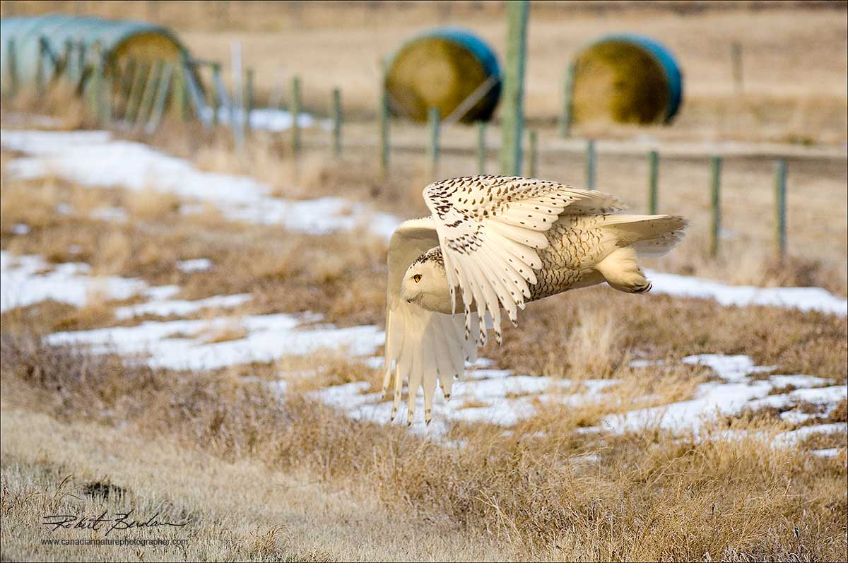 Snowy owl in flight near Mossleigh, AB  by Robert Berdan ©