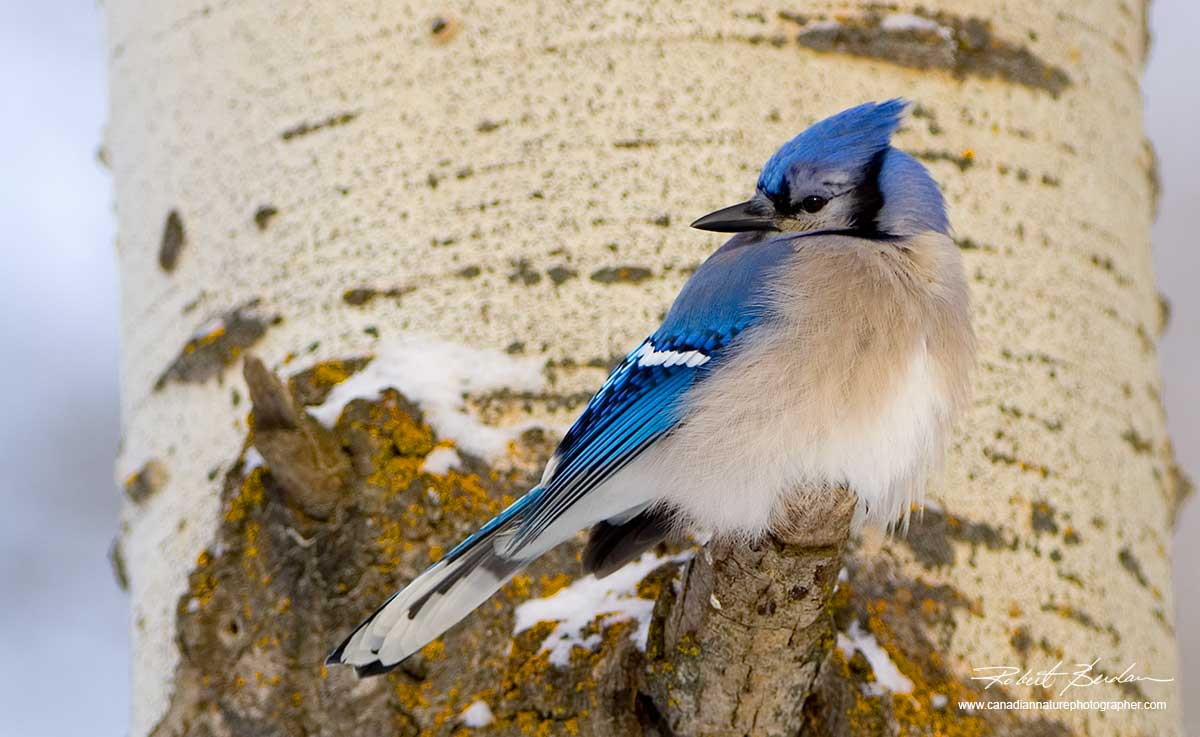 Blue Jay on tree by Robert Berdan ©