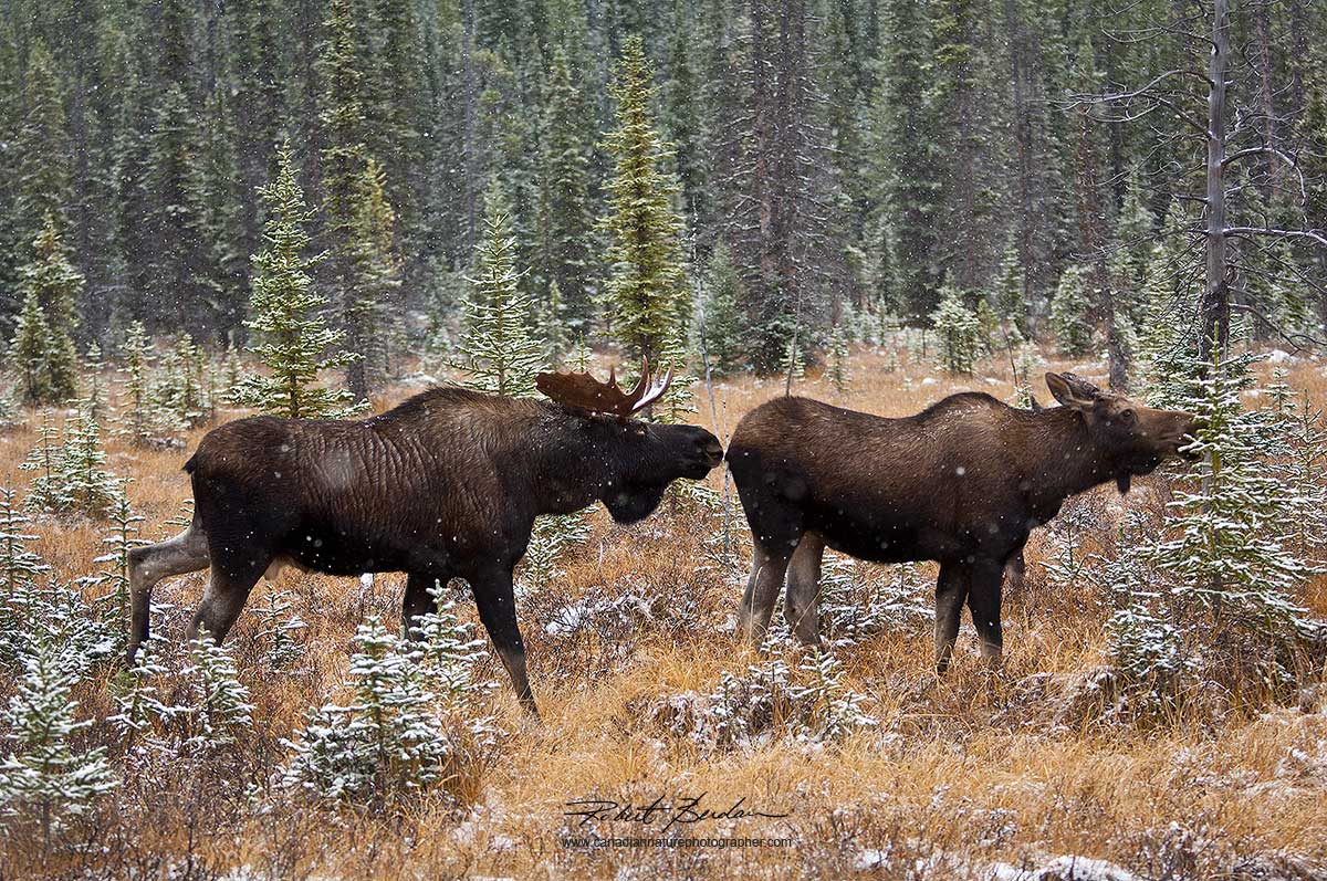 Moose encounter by Kananaskis by Robert Berdan ©