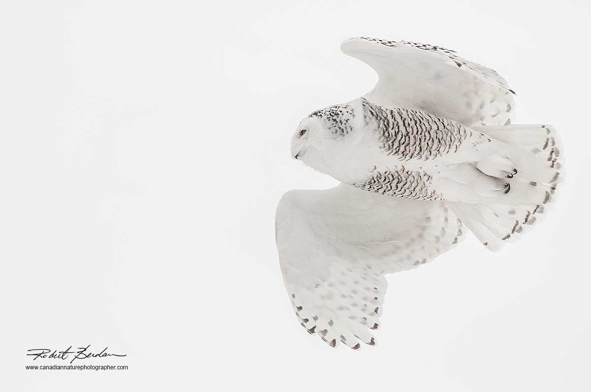 Snowy owl in flight against a white winter sky by Robert Berdan ©