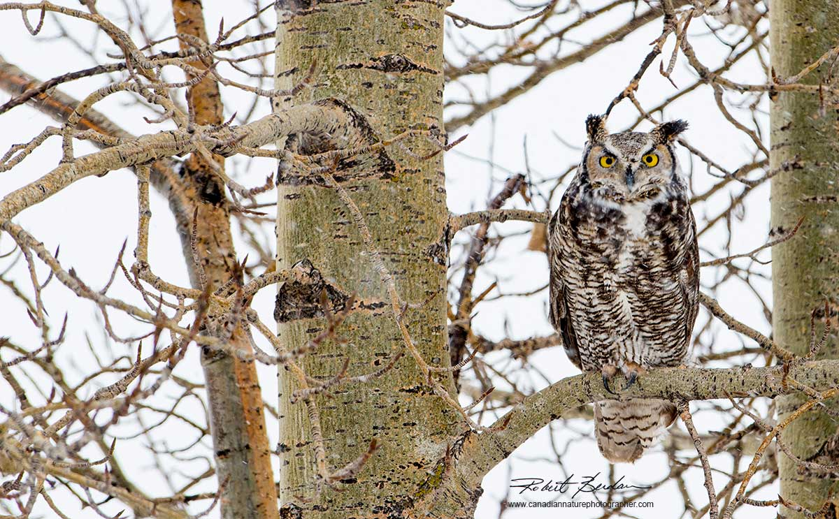 Great Horned Owl by Robert Berdan ©