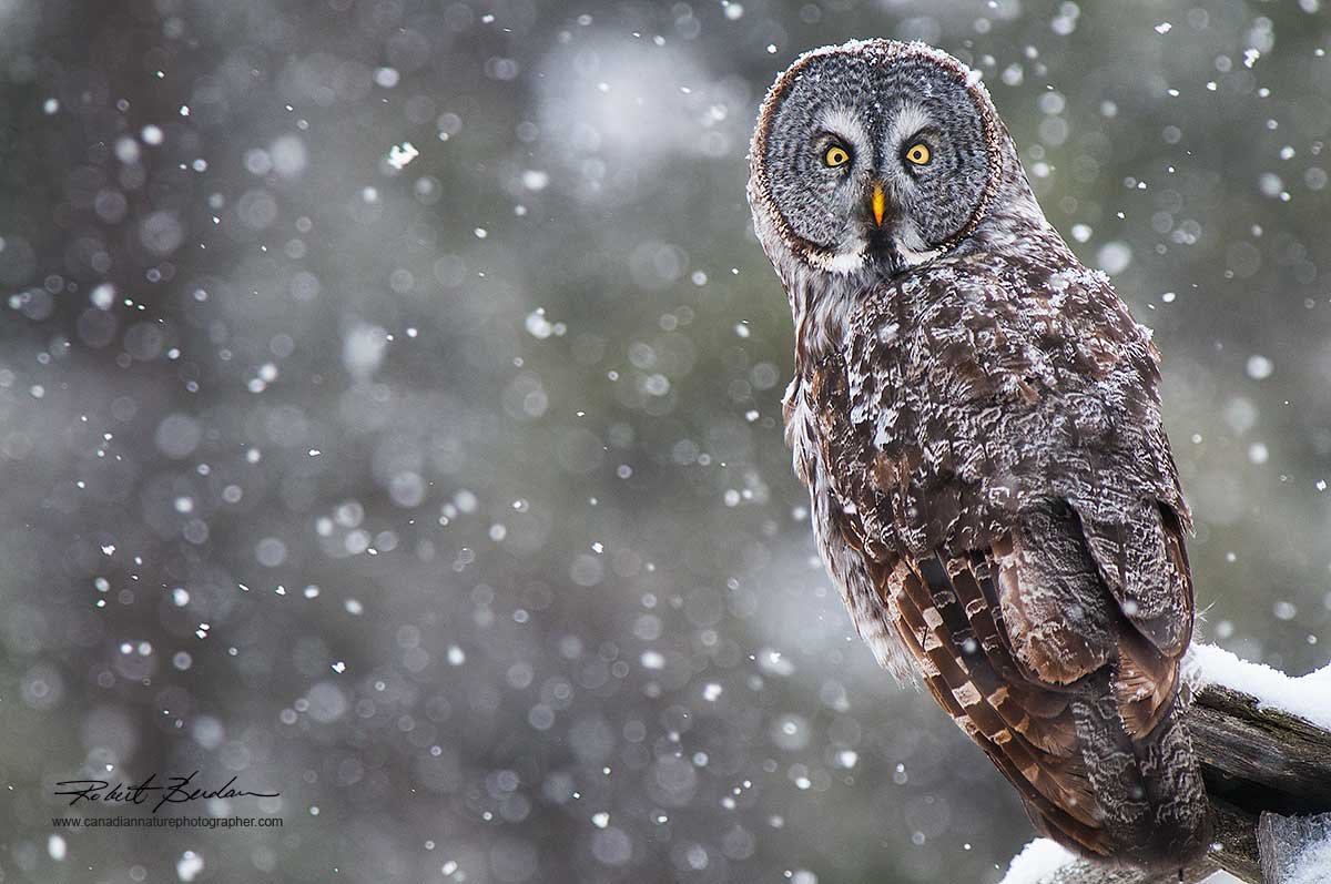 Great Gray Owl Grande Valley  Road in winter by Robert Berdan ©