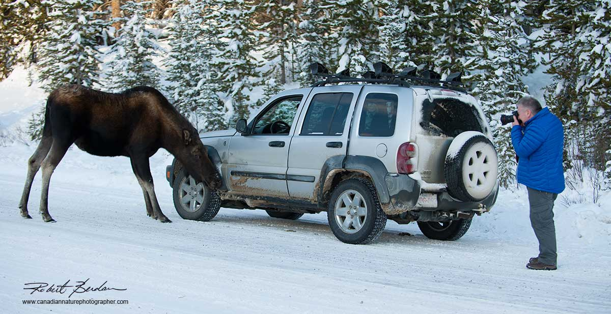 Moose licking salt off car in Kananaskis Country in winter by Robert Berdfan ©