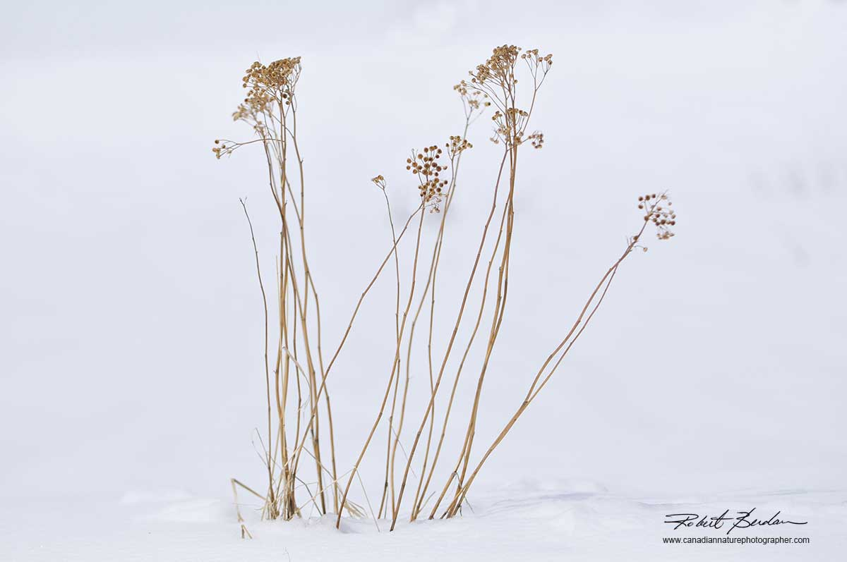 Winter weed in snow by Robert Berdan ©