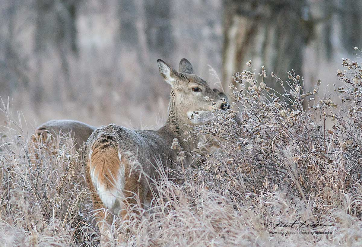 White-tailed deer Fish Creek Park, Calgary by Robert Berdan ©