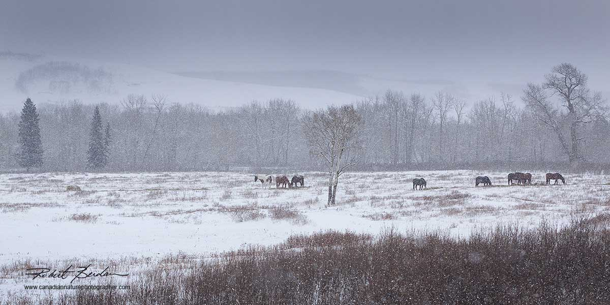 Horses in winter snow by Robert Berdan ©