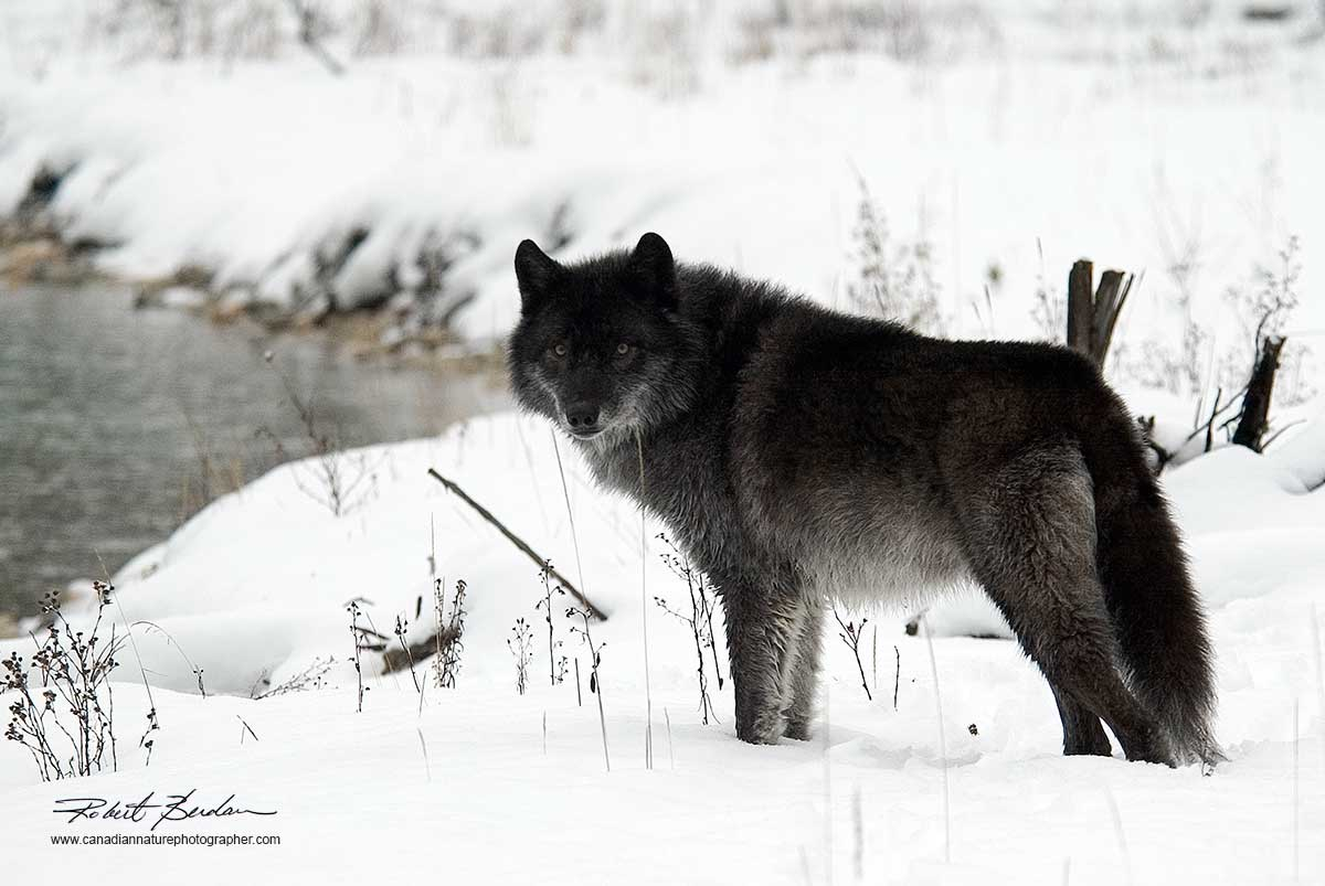Black wolf in winter by Robert Berdan ©