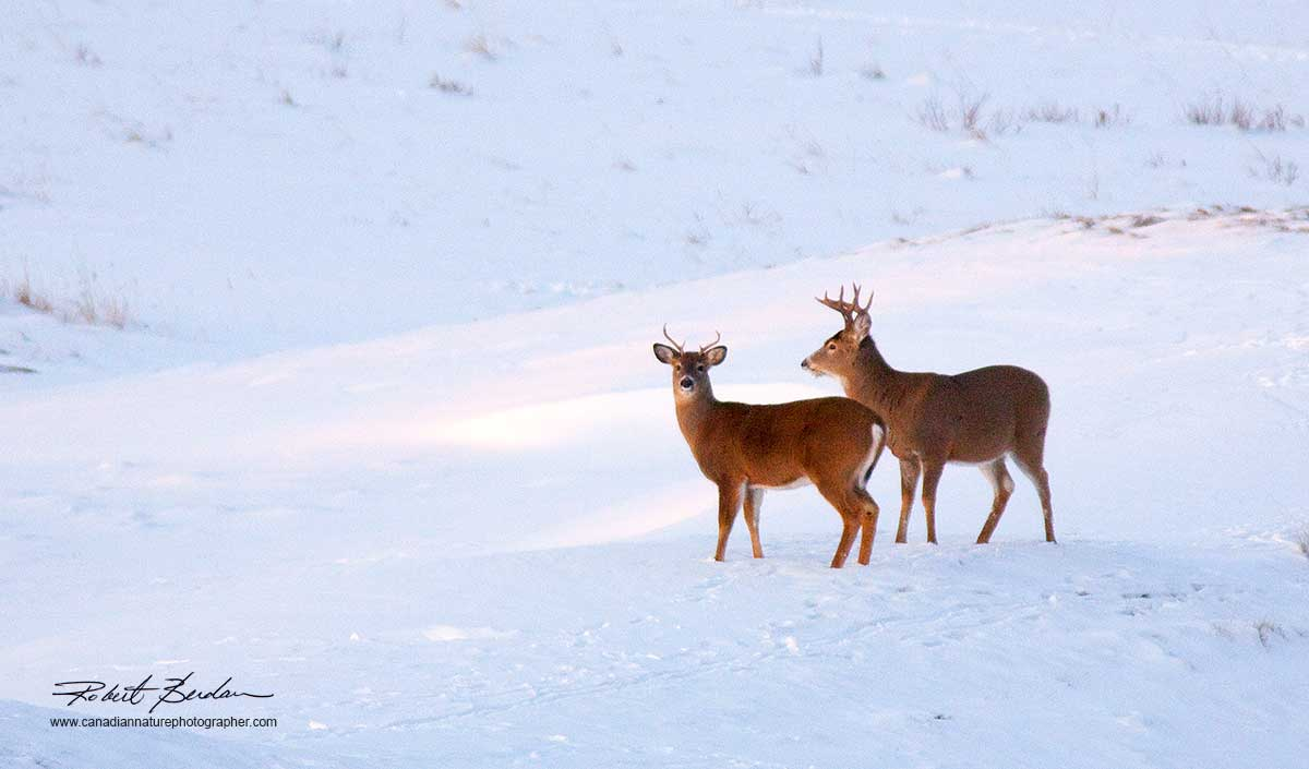 White-tailed deer in winter near Bragg Creek, Alberta by Robert Berdan ©