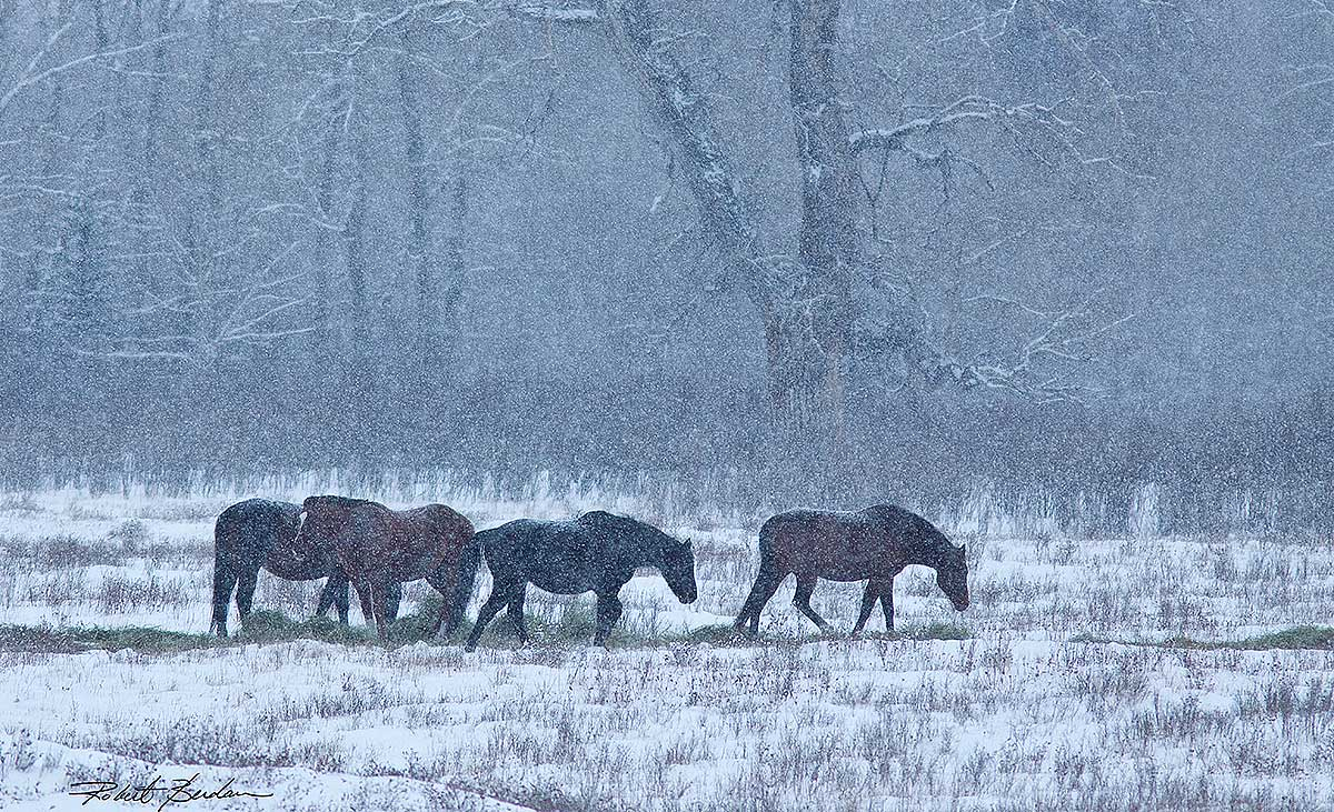 Horses in snow near Millarville, AB  by Robert Berdan ©