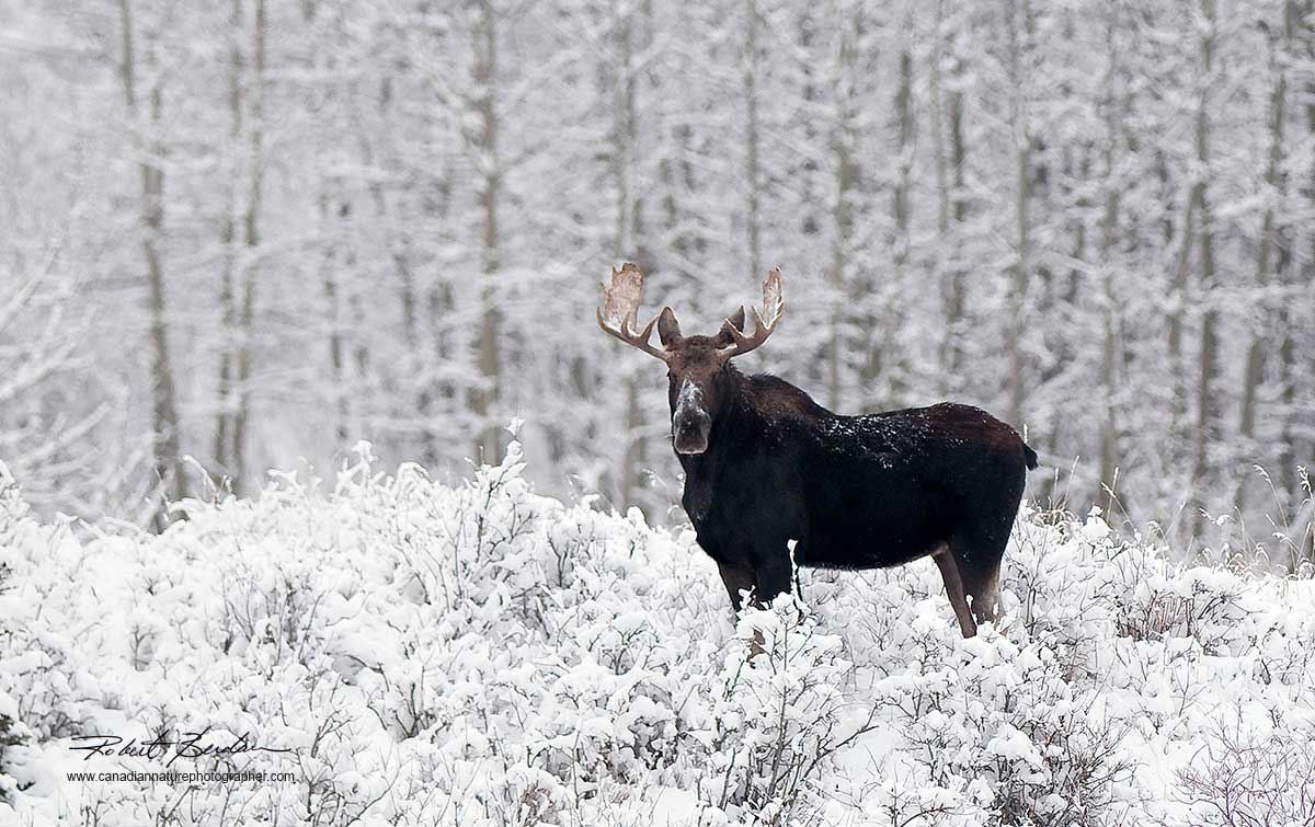 Bull moose in snow next to Lochend Road north of Calgary by Robert Berdan ©