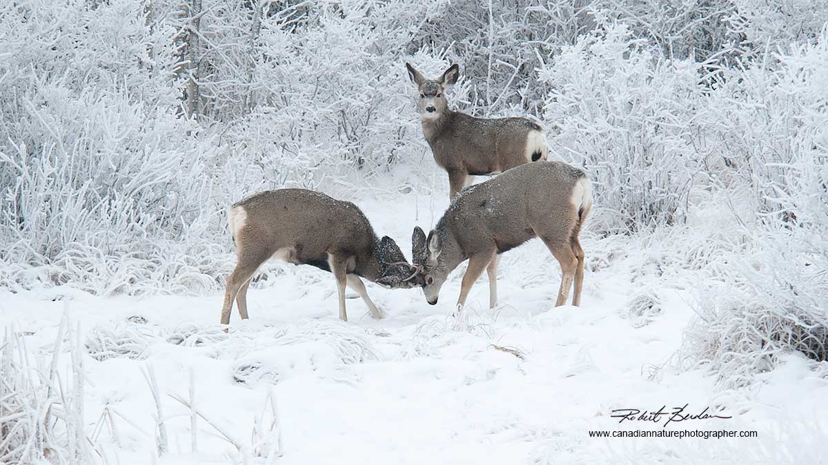Male mule deer trying to impress a female - next to Bearspaw Road, Calgary. by Robert Berdan
