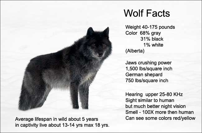 Wolf Facts by R. Berdan ©
