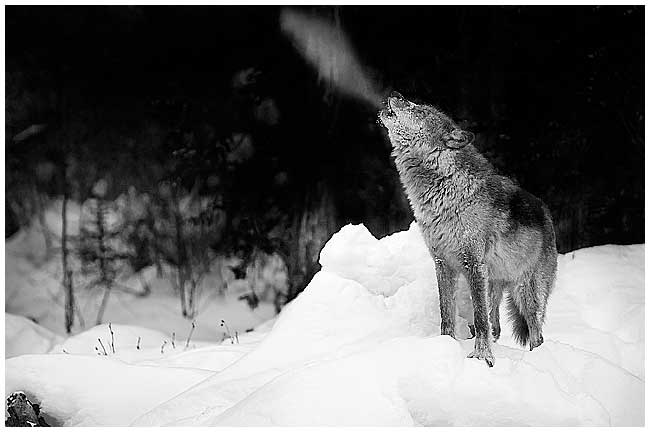 Howling wolf showing breath (captive) by Robert Berdan ©