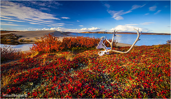 Bearberry leaves, tundra and Caribou skull in front of Point Lake Lodge by Robert Berdan ©