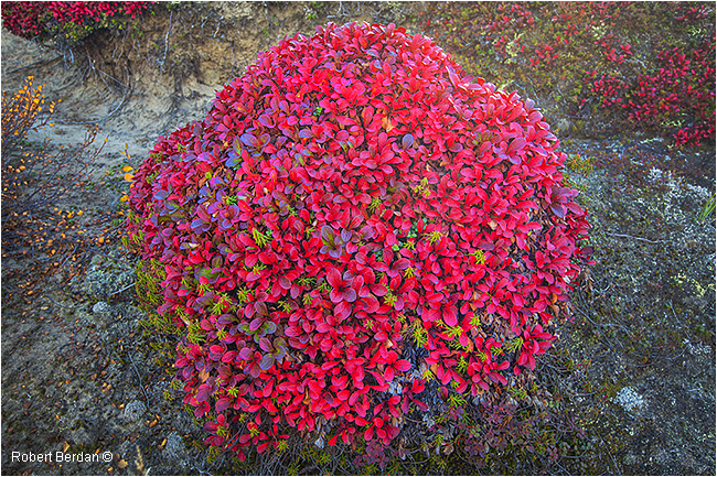 Moiund of red bearberry, Point Lake, NWT by Robert Berdan ©