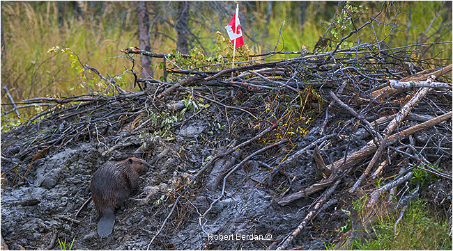 Beaver on hut with Canadian flag by Robert Berdan ©