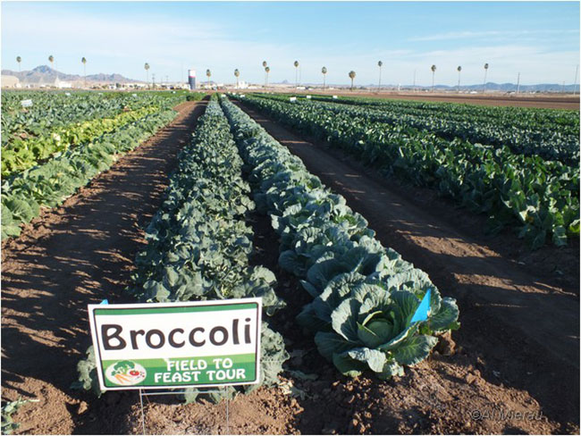Broccoi pathc in Yuma by Al Mierau ©
