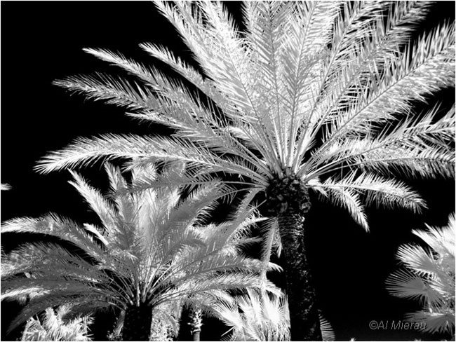 Infra red shot of palm trees by Al Mierau ©
