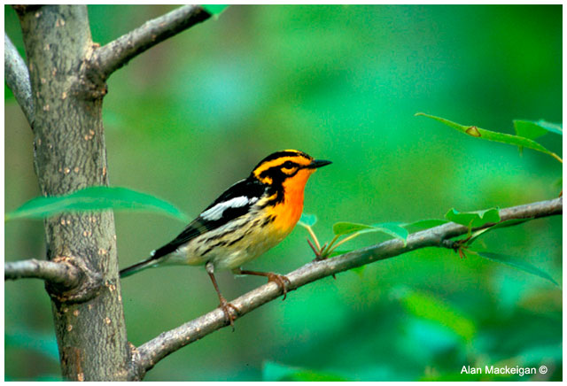 Blackburnian Warbler by Alan Mackeigan ©