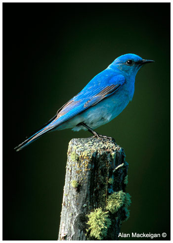 Mountain Bluebird by Alan Mackeigan ©