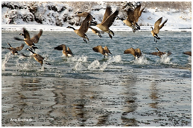 Canada geese on Elbow river by Ana Rocha ©