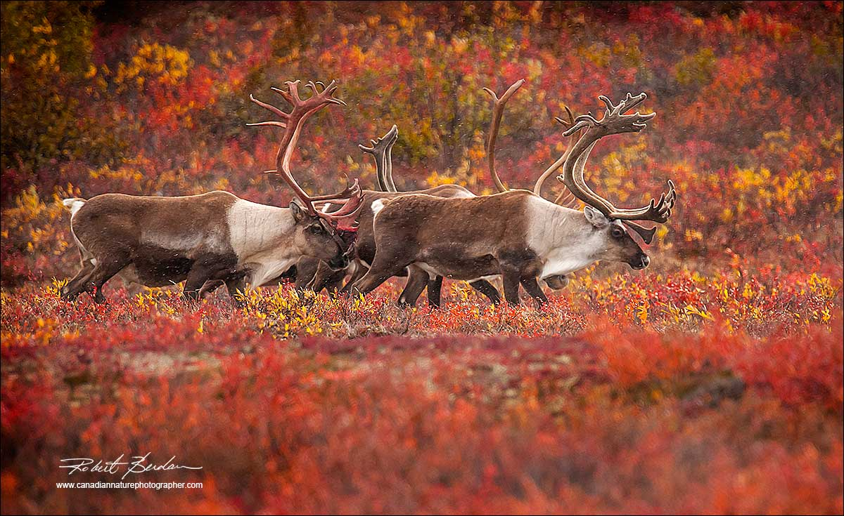 Small group of bull caribou near Peterson's Point Lake Lodge, NT by Robert Berdan ©