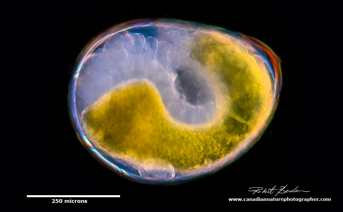Gammarus embryo? by Robert Berdan ©