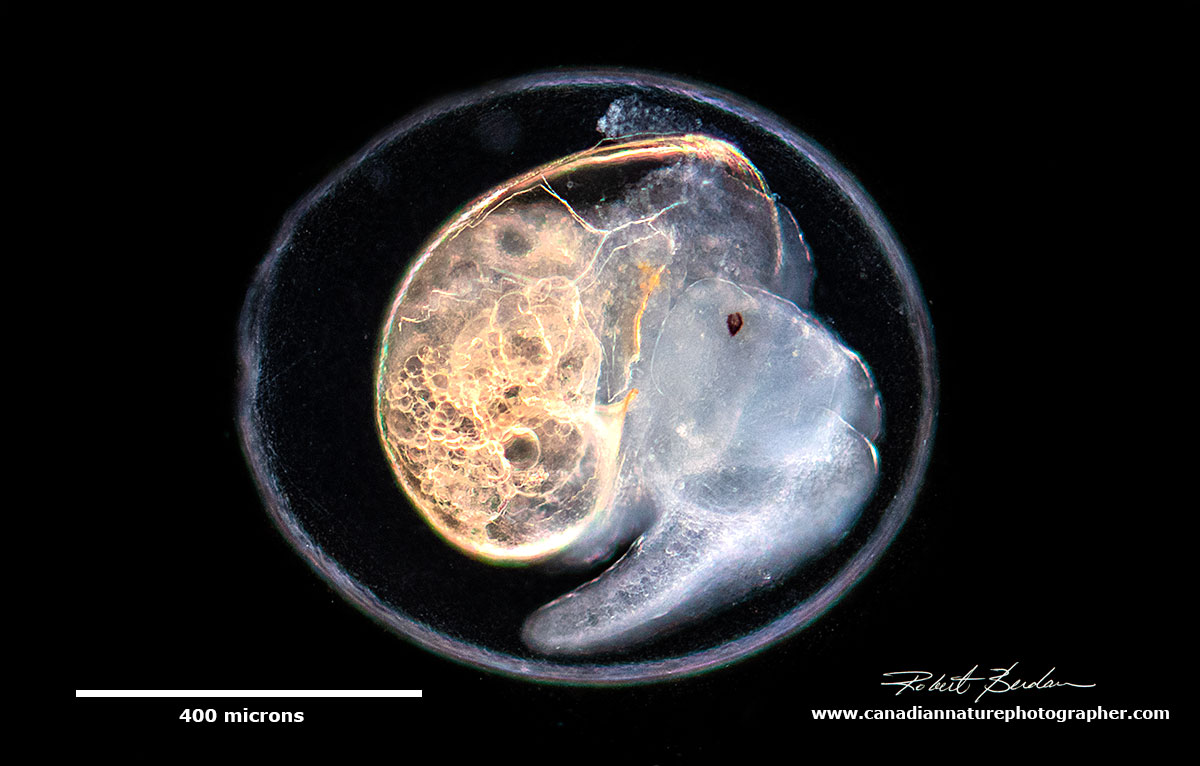 Young snail about to emerge from its egg by Robert Berdan ©