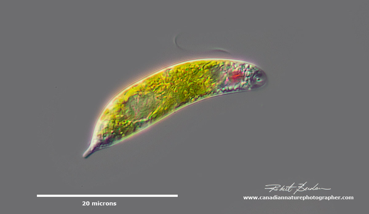 Euglenoid sp - note the red eye and flagellum by Robert Berdan ©
