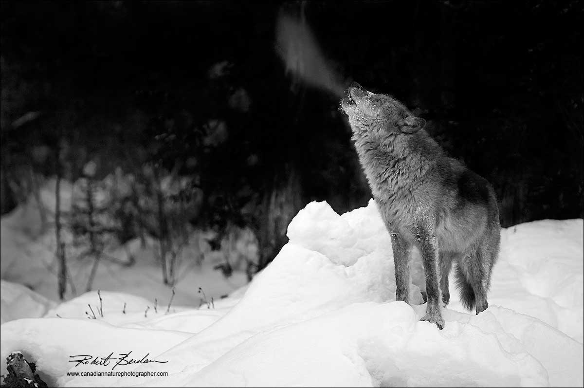 Black and white photo of wolf captive howling in winater by robert berdan