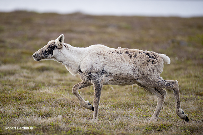Young caribou in Newfoundland by Robert Berdan ©