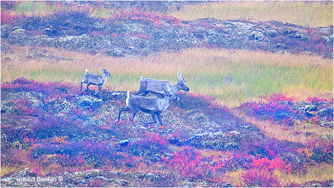 Caribou on the tundra in foggy conditions by Robert Berdan ©