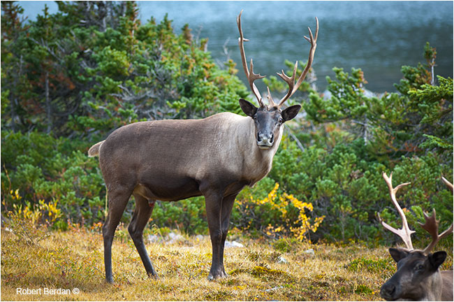 Maountain Bull Caribou by Robert Berdan ©