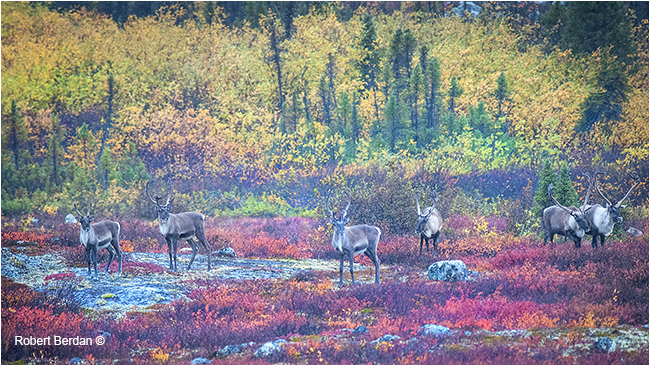 Caribou on the tundra by Robert Berdan ©