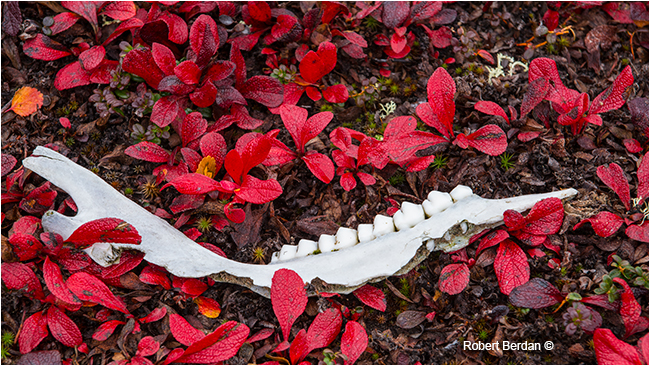 Caribou teeth on bear berry by Robert Berdan ©
