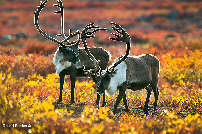 Back lit Caribou bulls on the tundra by Robert Berdan