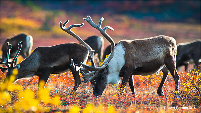 Caribou feeding on the tundra by Robert Berdan ©