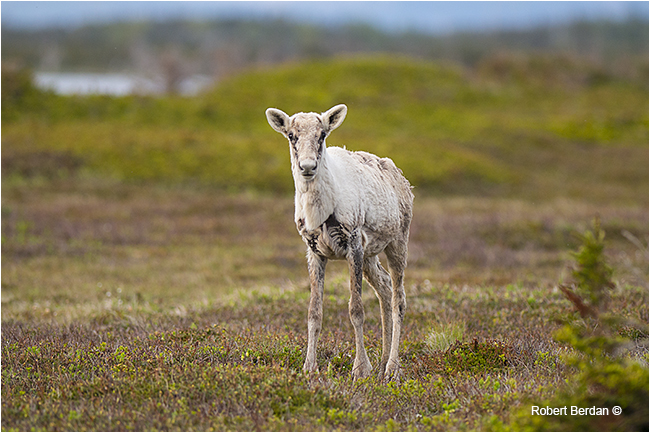 Young caribou in June in Gros Morne National Park by Robert Berdan ©