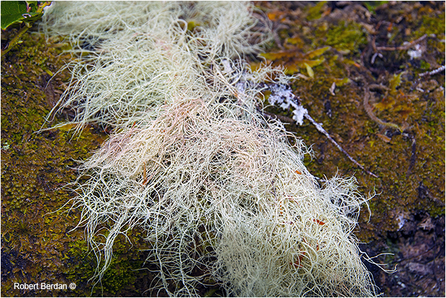 Hair lichen provides an important food source for Mountain caribou by Robert Berdan ©