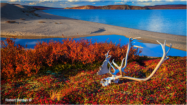 Caribou skull beside point lake, NWT by Robert Berdan ©