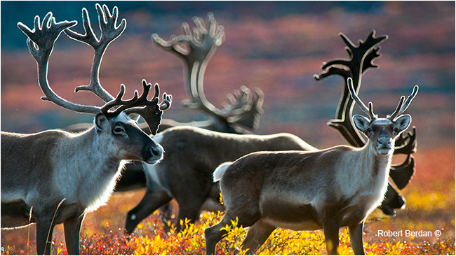 Back lit caribou on the Tundra by Robert Berdan ©
