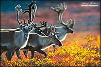 Barren-ground caribou near Point Lake Northwest Territories by Robert Berdan